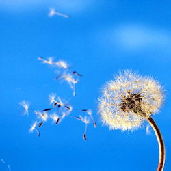 vento fiore polline poesia azzzuro cielo libertà
