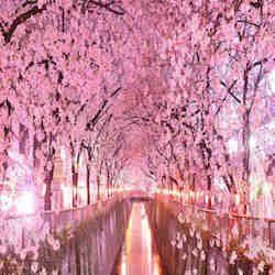 GIAPPONE : Come ogni anno, con la primavera, arriva lo spettacolo dell'Hanami.